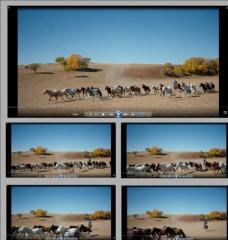 馬群奔騰視頻素材