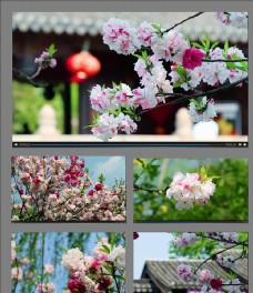 春天桃花开放视频素材