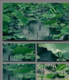 小雨天气下的荷塘视频素材