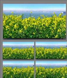 油菜花开放视频素材