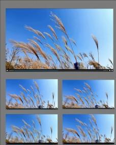 蘆葦隨風擺動視頻素材