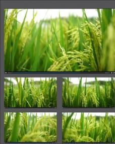 水稻種植稻穗視頻拍攝素材