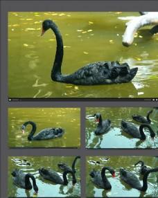 湖中戲水的黑天鵝視頻素材