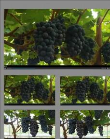 豐收的紫黑葡萄園視頻