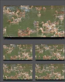 湖中戲水的一群鴨子視頻素材