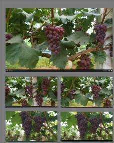 豐收的葡萄園視頻素材