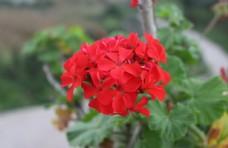 洋繡球入臘紅日爛紅天竺葵