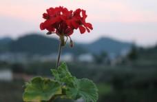洋繡球石臘紅入臘紅日爛紅天竺葵