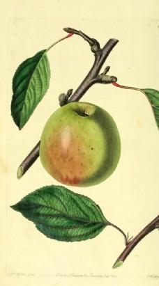 蘋果的插畫