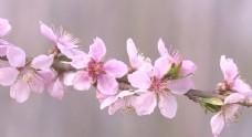 春天 桃花 油菜花