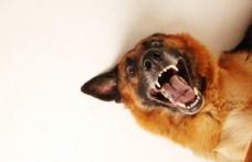 大狼狗德国牧羊犬