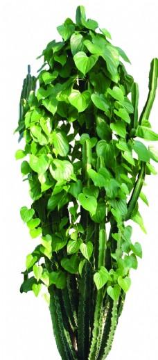 綠蘿仙人掌