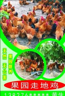 天然无公害果园散养走地鸡
