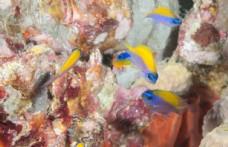 蓝头黄背小鱼